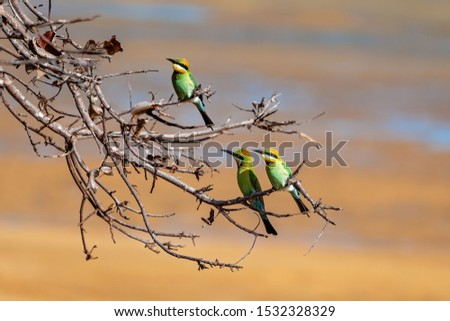 Three bee-eater birds perched on tree branches against a sand background at the beach which is their natural habitat