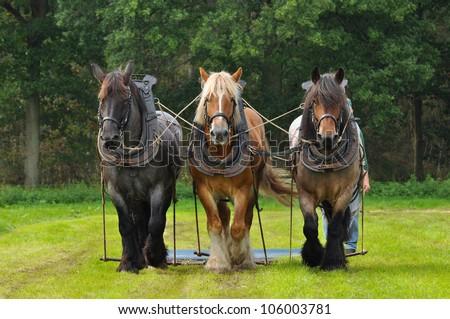 Three Belgian Heavy Horses at a field - stock photo