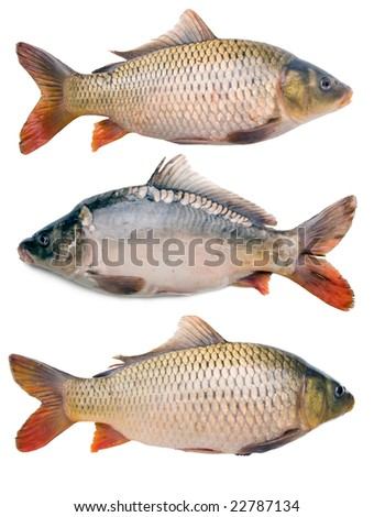 three big fat carps collection isolated on white background