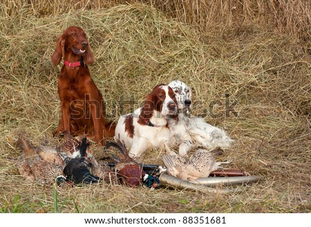Three Bird dog resting after the hunt beside a shotguns and pheasants in front of a hay, horizontal