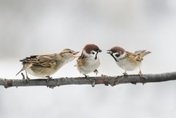 three birds Sparrow argue on the branch flapping the wings