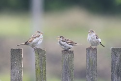 three birds Sparrow flew to the old wooden fence