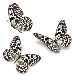 Three black and white butterfly, isolated on white background