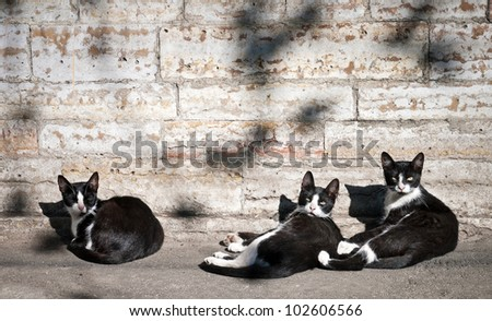 Three black and white street cats