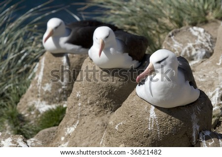 Three black-browed albatros  (Diomedea melanophris) on their nest on Saunders Island, Falkland Islands