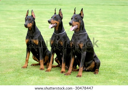 three black dobermans sitting on the grass