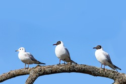 Three black-headed gulls, two breeding adults and a juvenile, perched on a tree branch. Clear blue sky background with space for text.