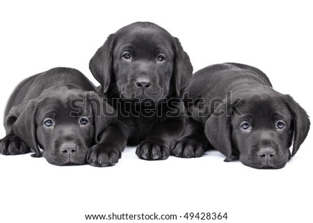 Three black lab puppies, two  months old.