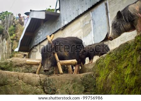 Three black pig in small Philippines village - stock photo
