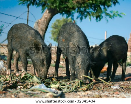 Three black piglets are eating outside, India - stock photo