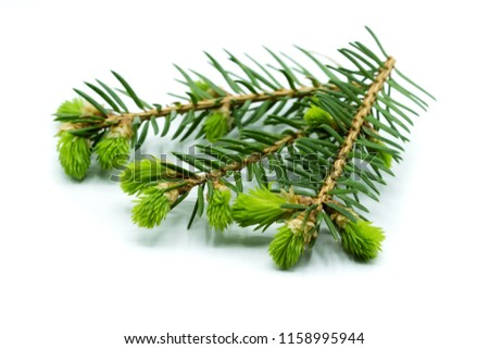 Three blooming fir branches isolated on white background