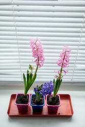 Three blooming multi-colored hyacinths on the window. Home garden on the window. Copy space and top view.