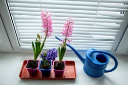 Three blooming multi-colored hyacinths on the window with a blue watering can. Home garden on the window. Copy space and top view.