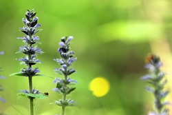 Three blossoming blue bugle (Ajuga reptans) plants with blue flowers from mint family (Lamiaceae or Labiatae) on a greenish-brown blurry forest background with a yellow circle shaped sunbeam