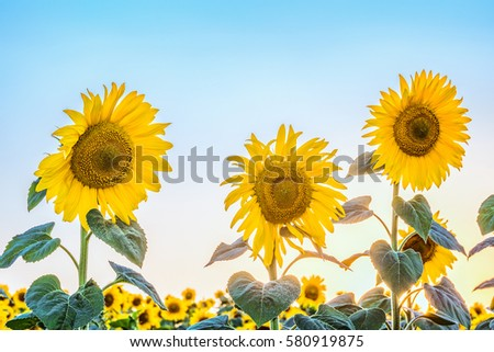 Three blossoming sunflower in the light of low sun and a cloudless bright blue sky.