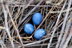 three blue bird eggs in the nest.  wild bird's nest from branches.  Happy Easter.