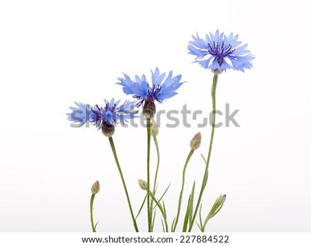 Three blue cornflower flowers and buds on white background. Zdjęcia stock ©