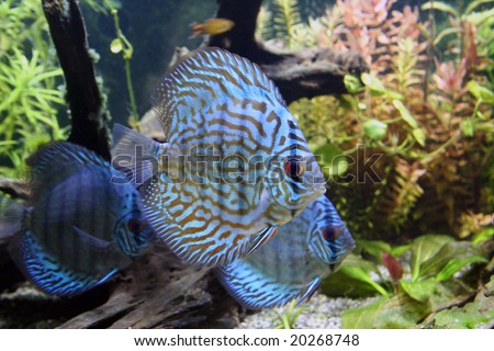 Three Blue Discus Fish - Symphysodon Aequifasciatus in a planted tropical freshwater aquarium