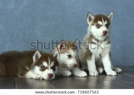 Free Photos Copper Red And White Siberian Husky Puppy Lying Down