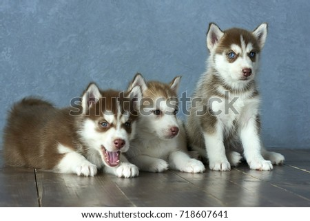 Three Blue Eyed Copper And Light Red Husky Puppies On Wooden Floor