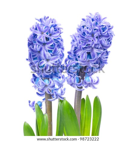Three blue flowers hyacinthes with green leaves isolated on white