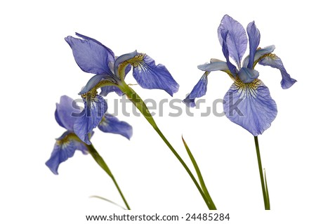 three blue iris isolated on white background