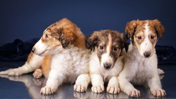 Three Borzoi puppies lying on dark blue background