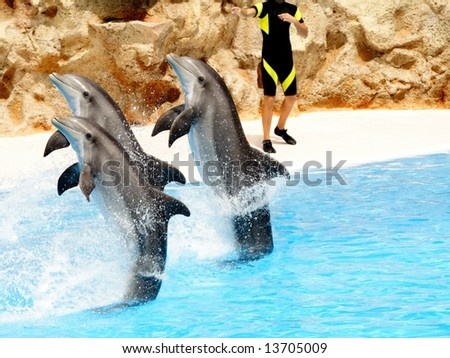 Three bottlenose dolphins performing a tail stand at a show