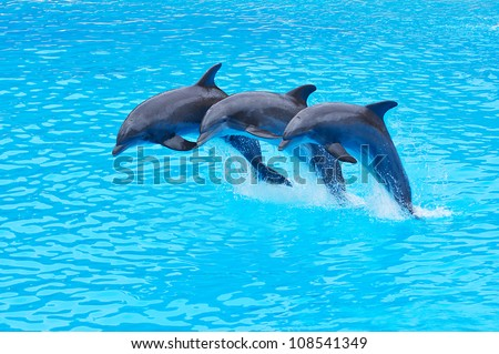 Three Bottlenose Dolphins, Tursiops truncatus, leaping in formation