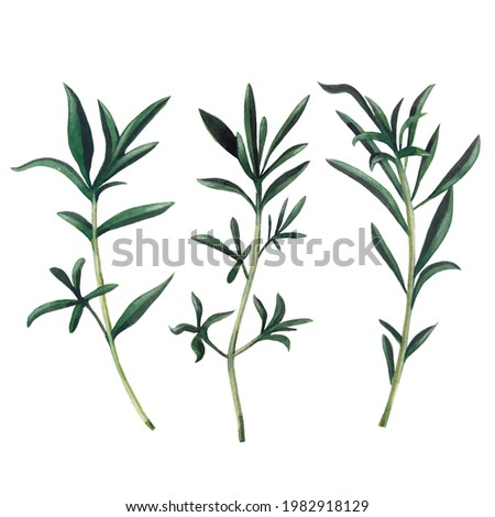 Three branches of santoreggia isolated on white background.  Watercolor hand drawn illustration. Zdjęcia stock ©