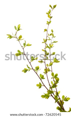 Three branches with young green spring leaves  isolated on white