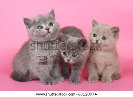 Three British kitten on a pink background.