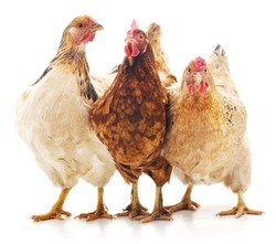 Three brown chicken isolated on white background.