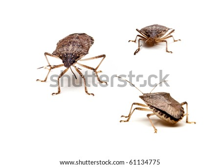 Three Brown Marmorated Stink Bug or Shield Bug isolated against white background