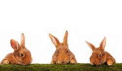 three brown rabbit on white background