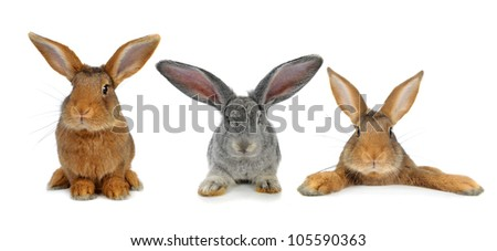 three brown rabbit on white background