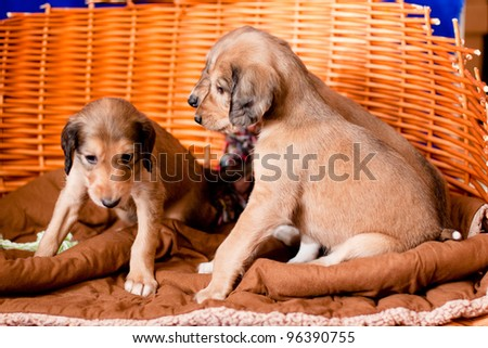 Three brown saluki pups lyng in a basket on blue background