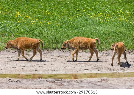 Three Buffalo Calves