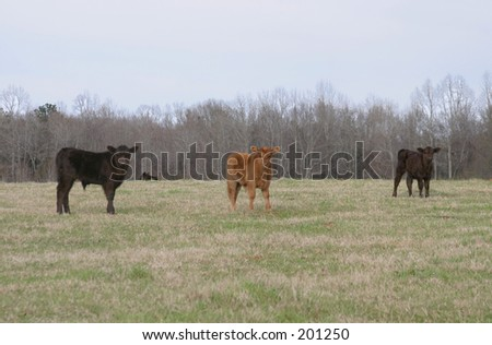 Three Calves in Field Near Pine Mountain, Georgia