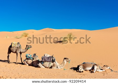Three camels in desert