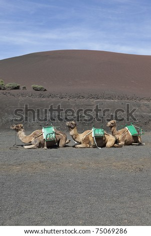 three camels waiting for tourists. location: Lanzarote , volcanic island in the atlantic ocean. Lanzarote is one of the canary islands.