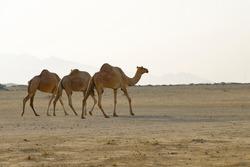 Three camels walking together through Arabian desert