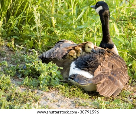 Three Canada goose goslings under the wing of their mother.