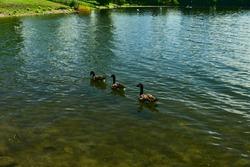 Three canada gooses swim in one line in saint Laurent river, rapides park, Montreal, QC, Canada