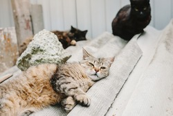 Three cats are resting on the street. Beautiful multicolored tabby cat lies and looks at the camera.