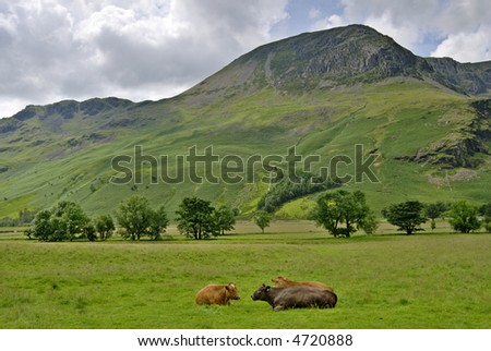 Three cattle resting near Buttermere  in the English Lake District with High Stile in the background