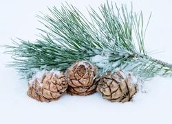 Three cedar cones with  branch in the snow