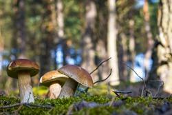 Three cep mushrooms grows in wood. Beautiful autumn season porcini in forest. Edible mushrooms raw food. Vegetarian natural meal