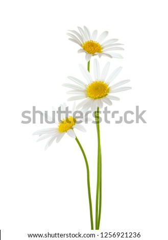 Three Chamomiles  (Ox-Eye Daisy ) isolated on white background. Stock foto ©