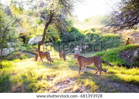 Three Cheetahs #681393928